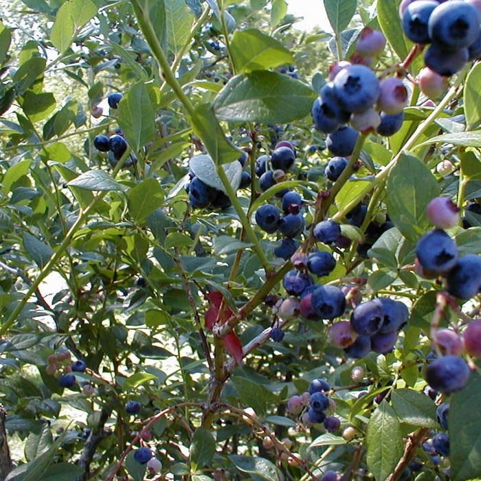 Farmers Market: 4th of July Blueberry Festival