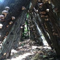 Shiitake Mushroom Log Inoculation Workshop